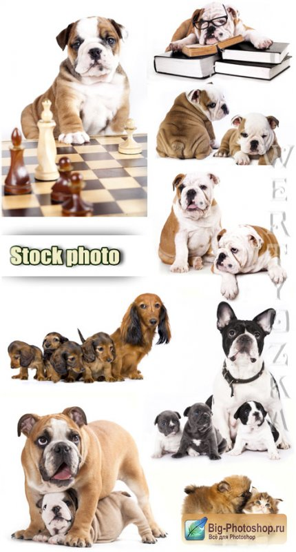 Бульдог английский / English bulldog, pets, puppies - Raster clipart