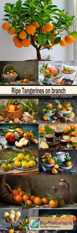 Ripe Tangerines on branch