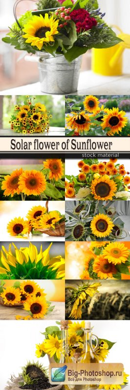 Solar flower of Sunflower
