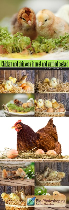 Chicken and chickens in nest and wattled basket