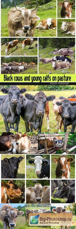 Black cows and young calfs on pasture