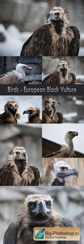 Birds - European Black Vulture