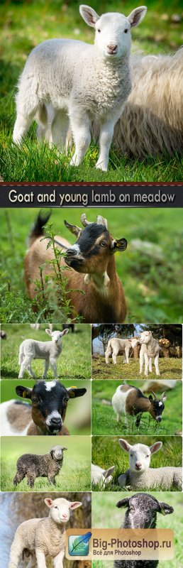 Goat and young lamb on meadow