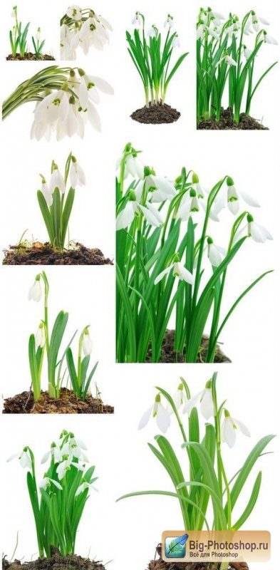 Snowdrops on white background 10X JPEG