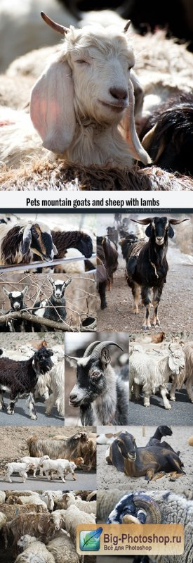 Pets mountain goats and sheep with lambs