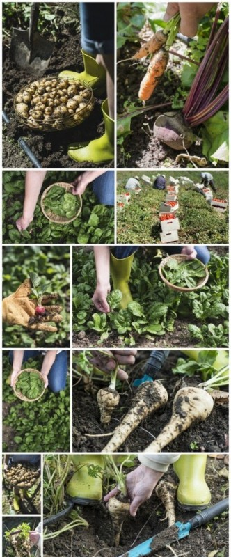 Picking spinach in a home garden, rich harvest 11X JPEG